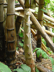 Bamboo shooting at Huai Mae Lamum
